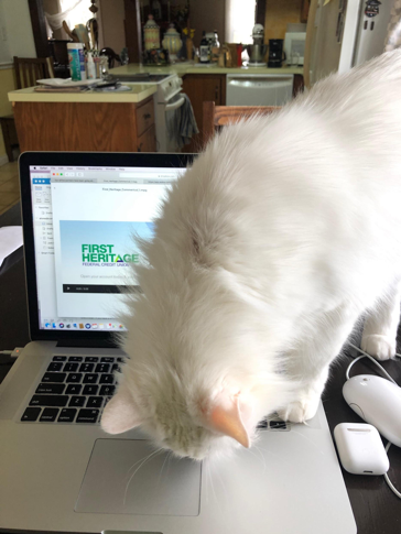 Fluff, cat, working at computer